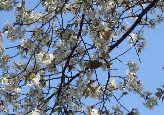 Suizenji Jojuen Garden : 山桜には沢山のメジロが蜜を吸っていた