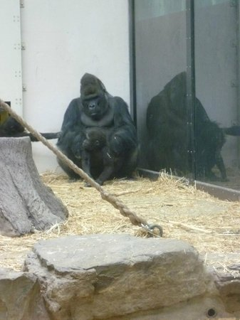 ARTIS Amsterdam Royal Zoo : Silverback