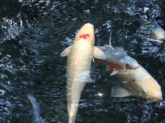 "Shirakawa Springs: 明神池名水公園を泳いでいた鯉に""山""の彫り物がありました"