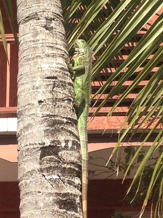 Palm Court Hotel : Hotel gardens, beautiful and harmless iguana
