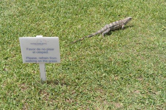 Grand Park Royal Cancun Caribe: The Iguanas
