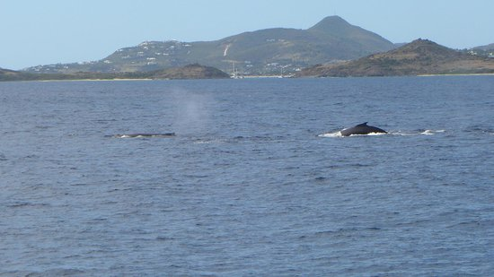 Orient Bay Beach : Whales off the coast of pinel island