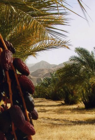 China Ranch Date Farm : Date Palm