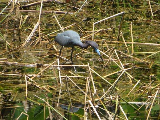 Corkscrew Swamp Sanctuary : blue herron