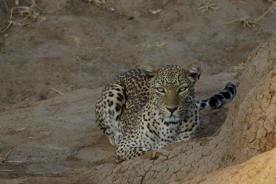 Old Mondoro Bush Camp : leopard am frühen morgen