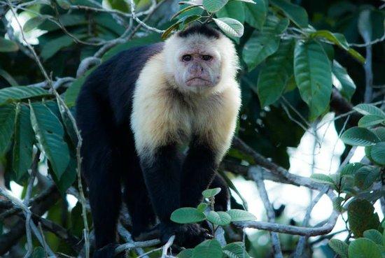 Sendero Panama Tours: One of the capuchin monkeys we saw.