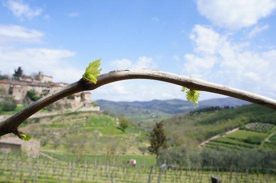 Montefioralle Winery: Budding Wine