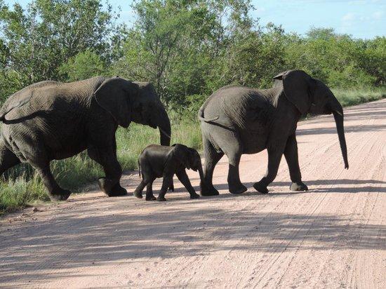 Cheetah Inn: Olifanten beschermen hub kleine
