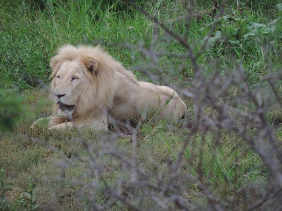 Cheetah Inn: Wiit leeuw