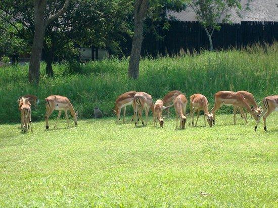 Kruger Park Lodge : Golf course friends-Impala & Monkey