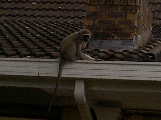 Gateway Country Lodge: Vervet monkeys gave us some laughs
