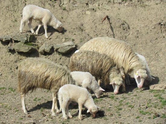 Agriturismo degli Olivi: Pecore