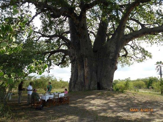 Chem Chem Safari Lodge: Le baobab géant au pied duquel nous avons pris notre petit déjeuner