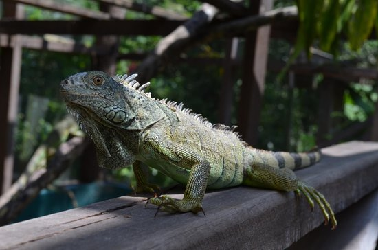 Green Iguana Conservation Project: Adult iguana