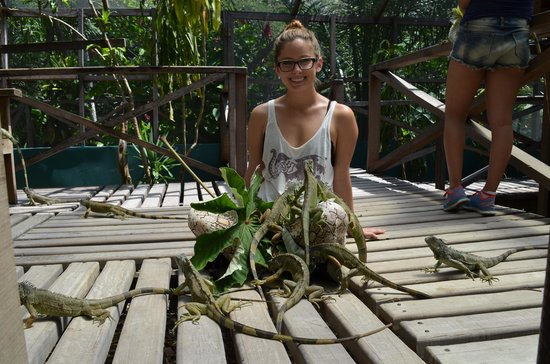 Green Iguana Conservation Project : Feeding the iguanas