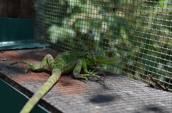 Green Iguana Conservation Project: Green iguana baby