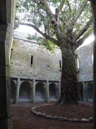 Muckross Abbey: священное дерево