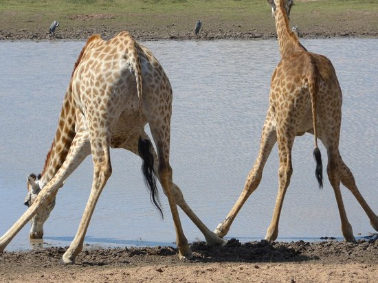 Amakhala Safari Lodge: giraffes drinking at Amakhala water hole