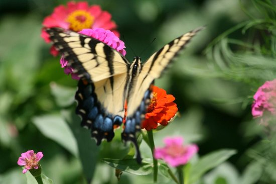 Chilhowee Mountain Retreat : Butterfly gathering nectar
