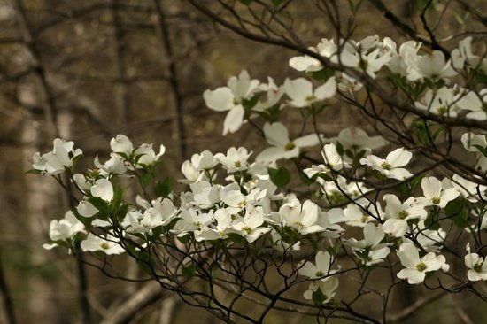 Chilhowee Mountain Retreat : Dogwoods in bloom