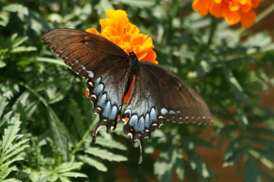 Chilhowee Mountain Retreat: Butterfly dining in the garden