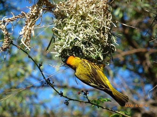 Serengeti Serena Safari Lodge: Southern masked weaver près de la réception