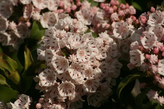 Chilhowee Mountain Retreat: Mountain Laurel