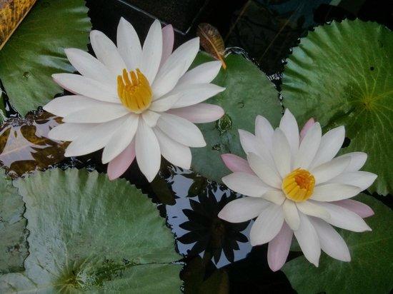 Rumahku Homestay: Blüten im Haustempelteich
