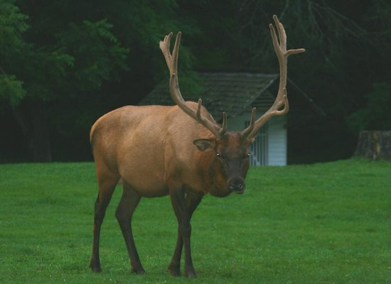 Chilhowee Mountain Retreat: Bull elk
