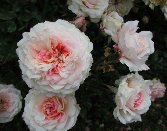 Hotel Sur Sur: Un rosal del jardín externo.
