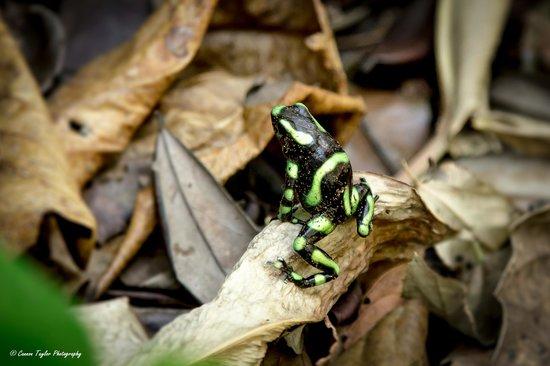 Lapa Rios Ecolodge Osa Peninsula : Poison dart frog