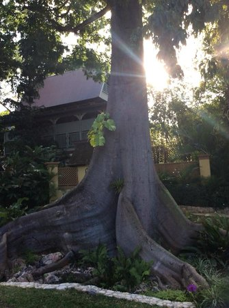 Hermosa Cove - Jamaica's Villa Hotel: The Leather tree is huge