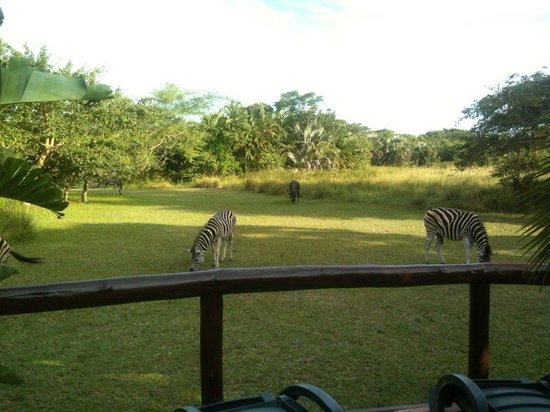 Malala Lodge: Zebras hinter dem Pool