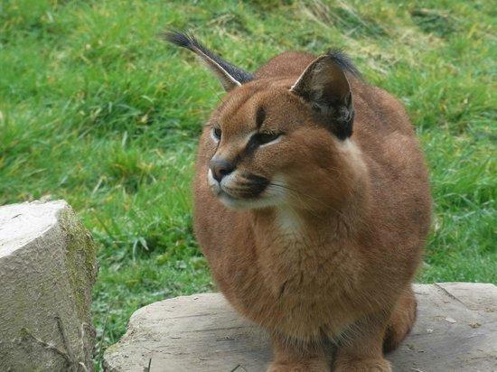 Exmoor Zoo: sand cat