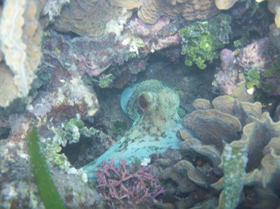 Bananarama Beach and Dive Resort: octopus seen snorkeling a few feet from the beach