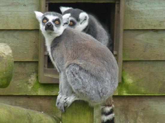Exmoor Zoo: lemurs