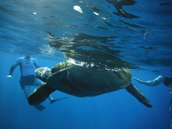 Kelii's Kayak Tours : one of many turtles