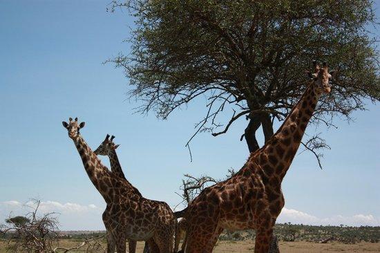 Porini Mara Camp: giraffes