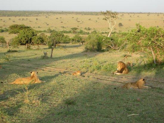 Porini Mara Camp: lions in the morning light
