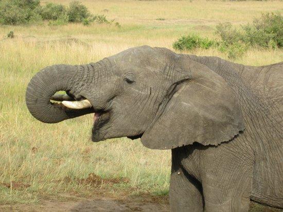 Porini Mara Camp: elephant close up