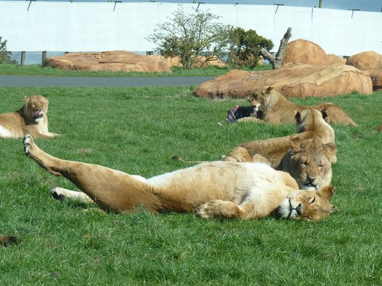 West Midland Safari and Leisure Park: A Lioness relaxing in the sun