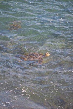 Kuhio Shores Condos: Turtles seen from our balcony