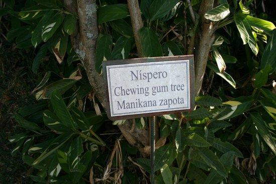 Hotel Buena Vista : Chewing gum tree on Coffee Trail