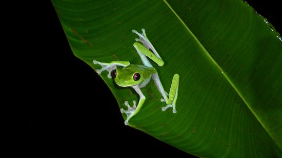 Esquinas Rainforest Lodge : red eyes frog