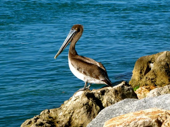 The Beachcomber: Pelican at the North Jetty