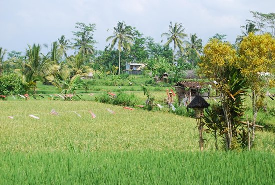 Nandini Jungle Resort & Spa Ubud: Rice fields near Nandini Resort and the village of Susut