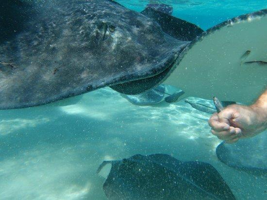 Stingray Sailing: Eating fish instead of squid