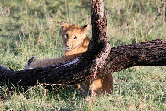Encounter Mara, Asilia Africa : Lionceau