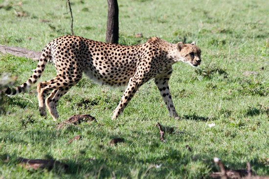 Encounter Mara, Asilia Africa : Guépard