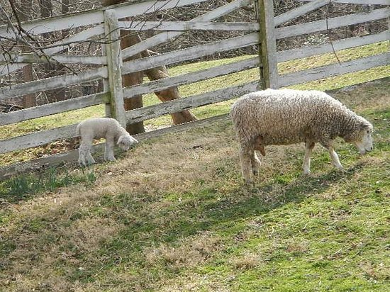 Colonial Williamsburg : new baby sheep and ewes
